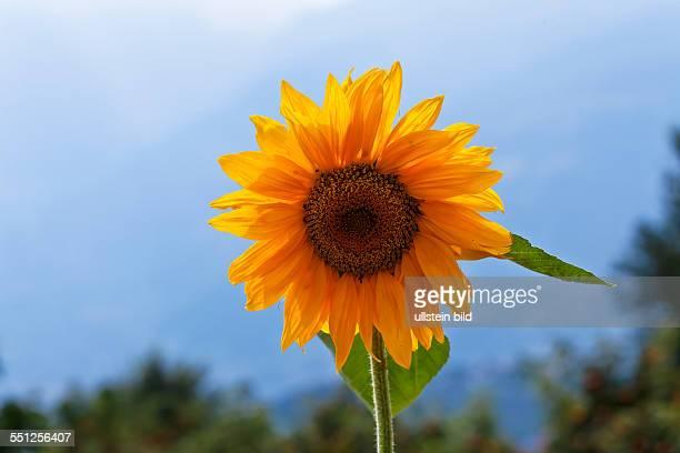 Plant flowerHelianthus annuus Sunflower