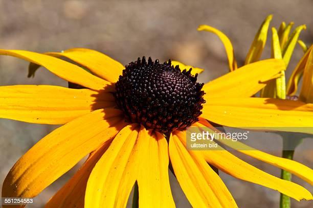 Plant flowerHelianthus astrorubens