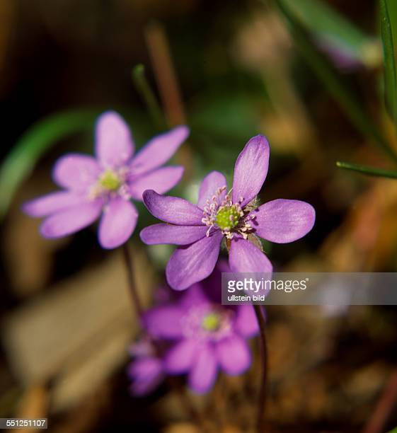 Plant flowerHepatica nobilisAnemone hepatica Hepatica liverwortkidneywort pennywort