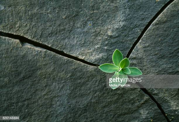 plant growing in cracked boulder - ausdauer stock-fotos und bilder