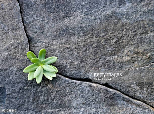 plant growing in cracked boulder - survival stock pictures, royalty-free photos & images