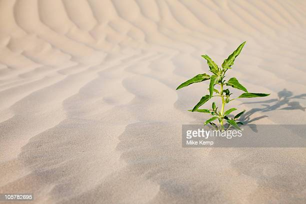 Plant growing in desert sand