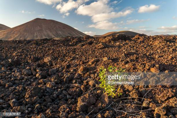 plant growing in the lunar landscape of timanfaya national park - resilience stock photos and pictures