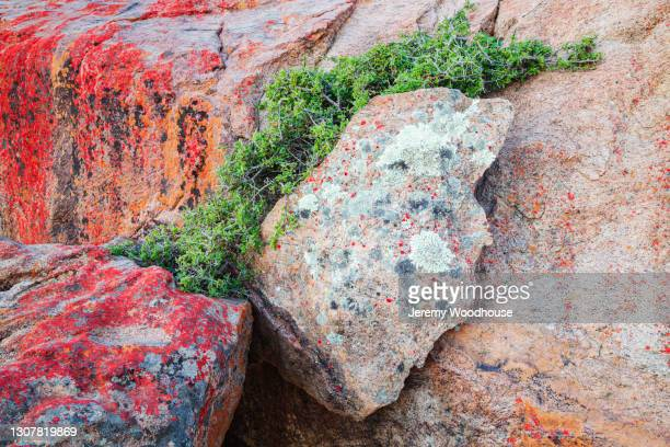 plant growing out of granite rock fissure - ナマクワランド ストックフォトと画像