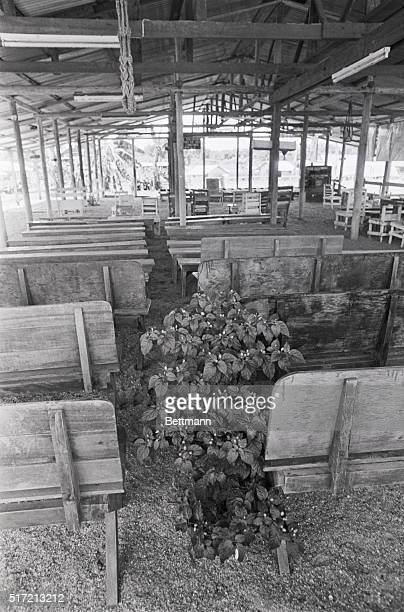 A plant grows in Jonestown between the pews at the rear of the assembly pavilion The hanging plants in the main pavilion where Jones delivered long...