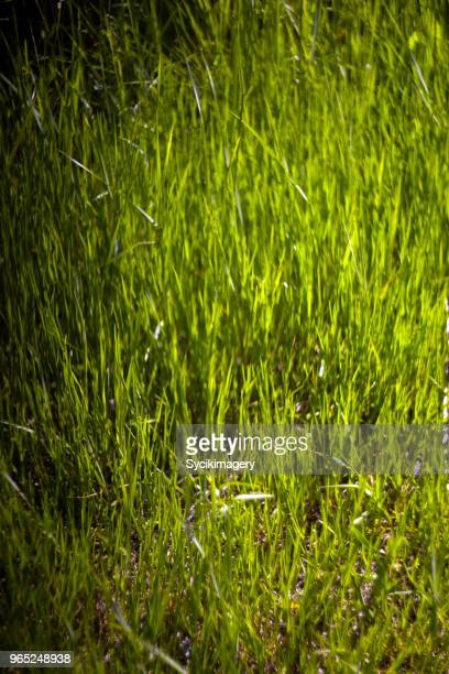 Plant growth, uncultivated grass, green color