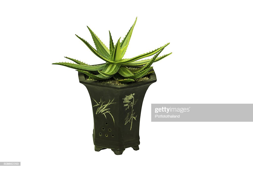Plant in pot : Stock Photo