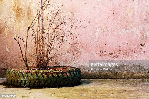 Plant in tire planter next to peeling pink wall