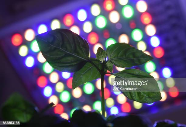 A plant is placed under the socalled 'Phytofy' a horticulture LED research light during the opening of Osram's showroom space named 'World of Light'...