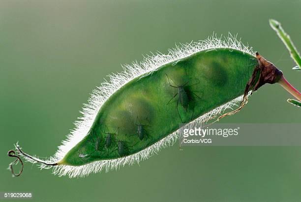 Plant Lice on Pea Pod