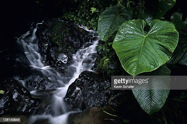 Plant next to small stream, El Pahuma Reserve, Pichincha province, Andes, Eucador