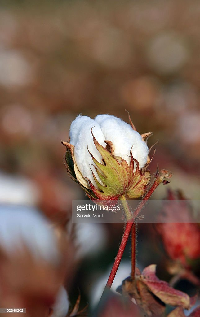 Cotton Harvest in Xinjiang : News Photo