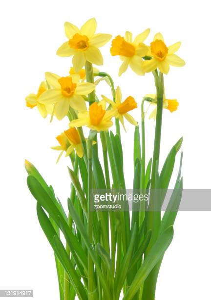 A plant of yellow spring daffodils on a white background