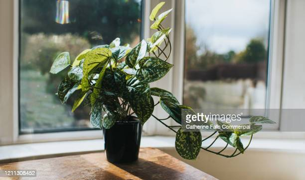 plant on a table - sun stock pictures, royalty-free photos & images