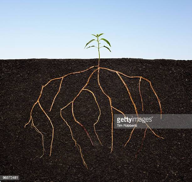 Plant seedling growing with extensive roots.