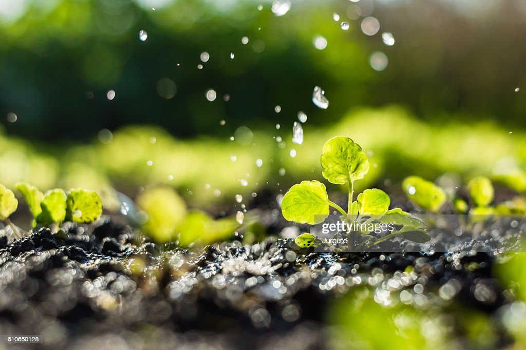 Plant sprouts in the field and farmer  is watering it : Stock Photo