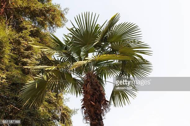 plant Trachycarpus fortunei