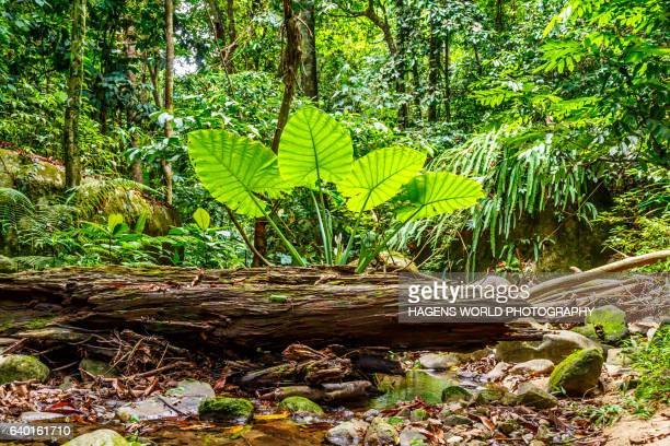Plant with giant leaves in the rainforest