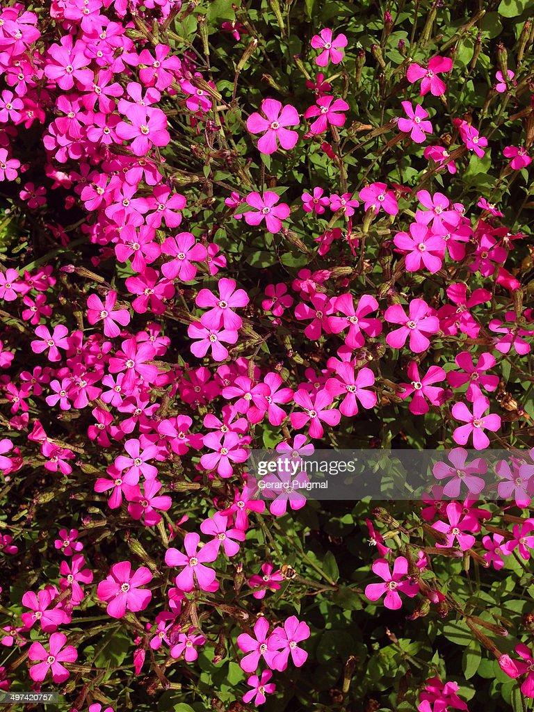 Plant With Little Pink Flowers Stock Photo Getty Images