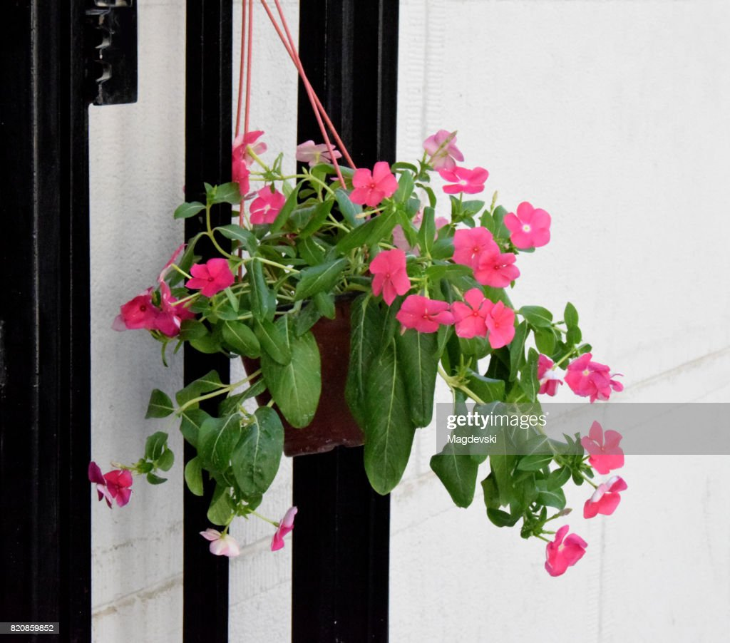 Plant With Pink Flowers In The Hanging Flower Pot On The Wall Stock