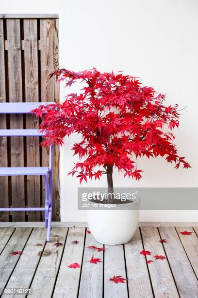 Plant with red leaves in pot