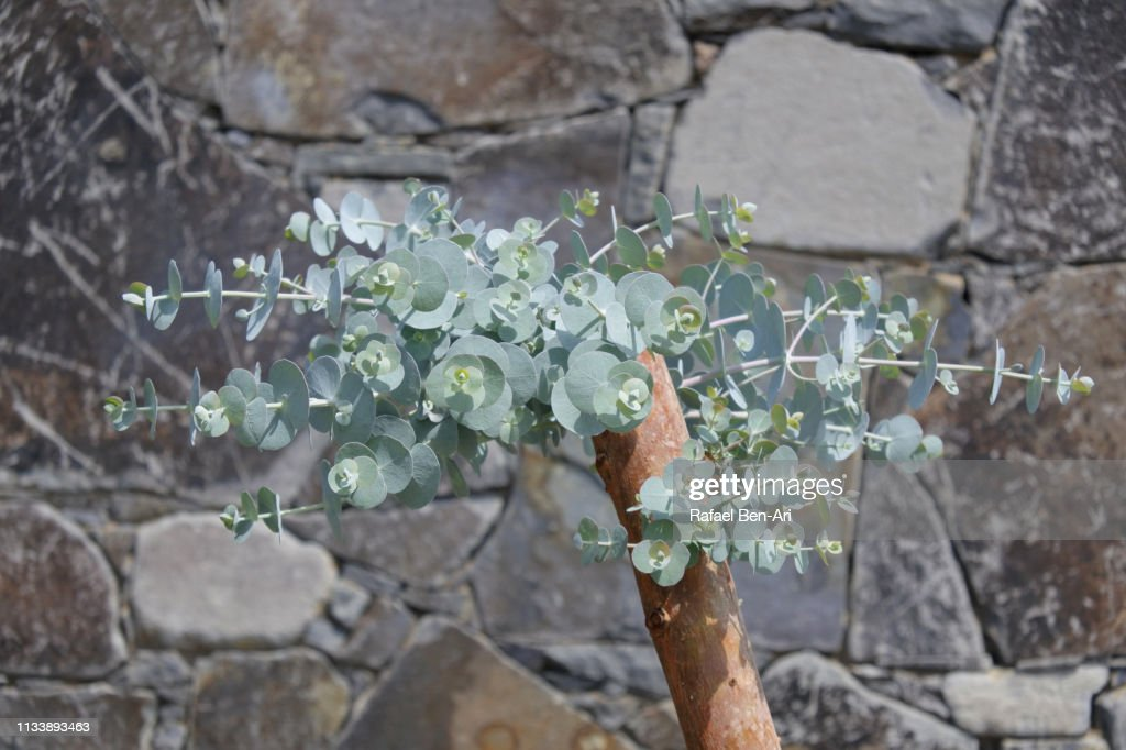 Plant with small round leaves : Stock Photo