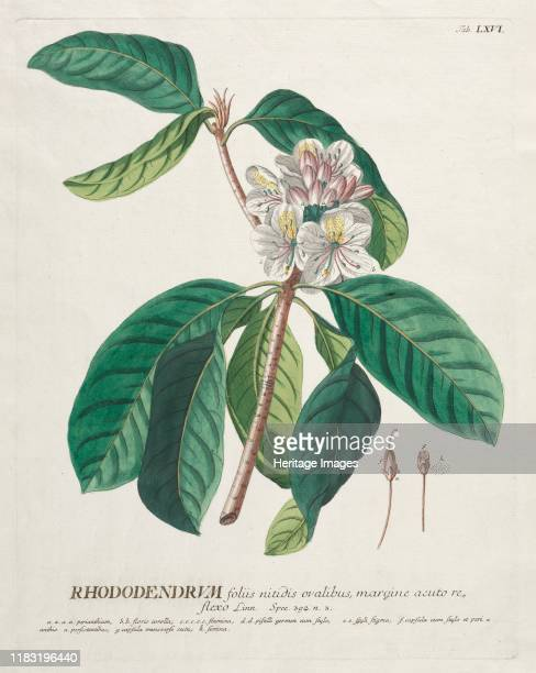 No. 66 - Rhododendron. Creator Unknown.
