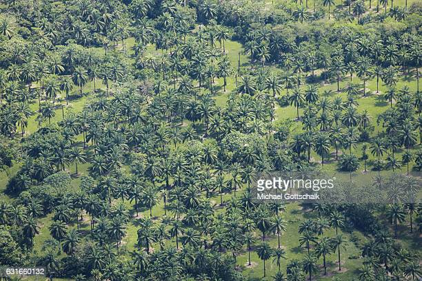 Plantage of Palm Trees for Palm Oil Production on January 13 2017 in Villavicencio Colombia
