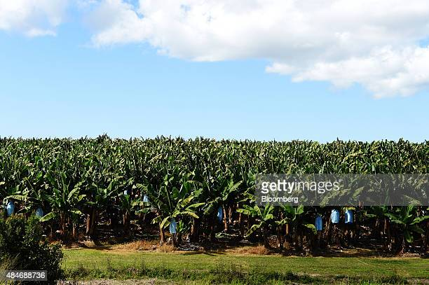 Plantain and banana trees stand at the Liverpool River Bananas farm near Tully Queensland Australia on Tuesday Aug 11 2015 More than 90 percent of...