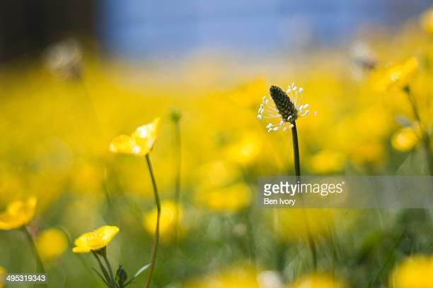 Plantain and buttercups