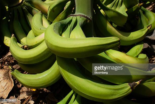 Plantains sit in a field before being loaded onto a truck in Chalatenango El Salvador on Wednesday Sept 19 2012 El Salvador's economy is dependent on...