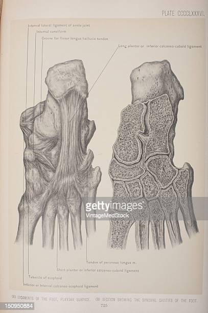 Plantar ligament refers to ligaments of the sole of the foot 1903 From 'Surgical Anatomy The Treatise of the Human Anatomy and Its Applications to...