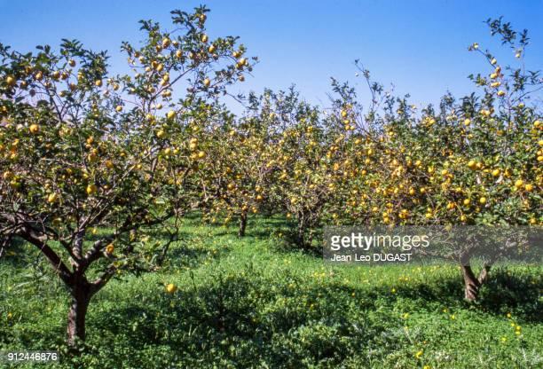 Plantation de citronnier dans le hameau d'Arbatax a Tortoli Italie