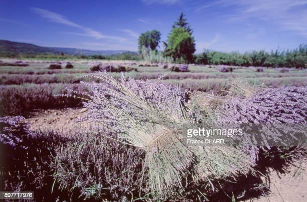 Plantation de lavande dans le massif du Luberon dans le Vaucluse France