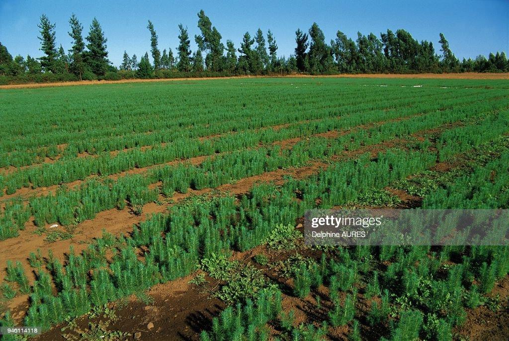 Plantation de pins Douglas ? Temuco Pictures   Getty Images