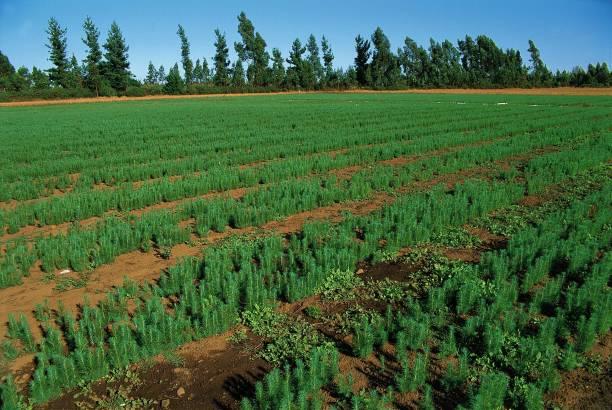 Plantation de pins Douglas ? Temuco Pictures | Getty Images