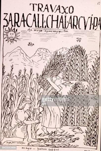 Plantation de quinoa au Pérou illustration du codex 'El primer nueva coronica y buen gobierno' de Felipe Guaman Poma de Ayala