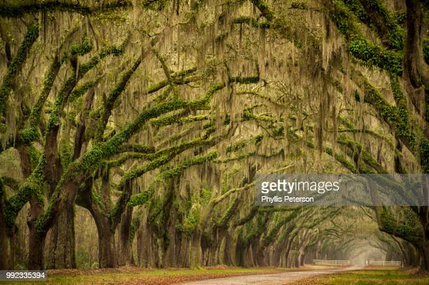 plantation drive of savannah - live oak tree stock pictures, royalty-free photos & images