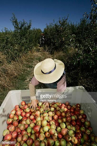 Plantation of apple