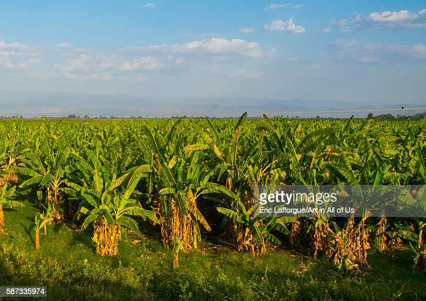Plantation of bananas in the rift valley gamo gofa omo arba minch Ethiopia on March 21 2016 in Arba Minch Ethiopia