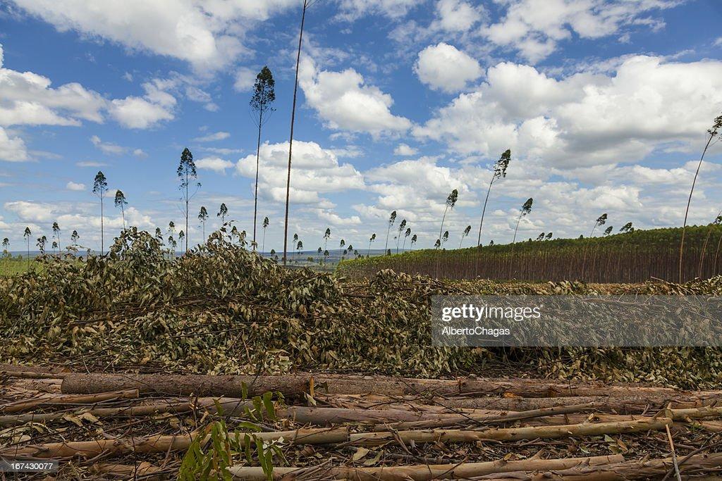 Plantação de Eucalipto : Foto de stock