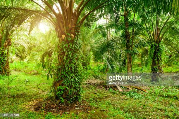 Plantation of palm oil. Sumatra, Indonesia