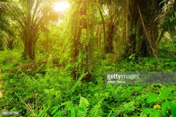 Plantation of palm oil. Sumatra, Indonesia