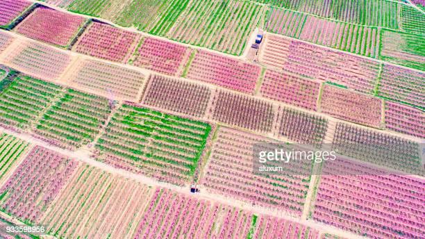 Plantation of peach trees in blossom in Aitona LLeida Catalonia Spain