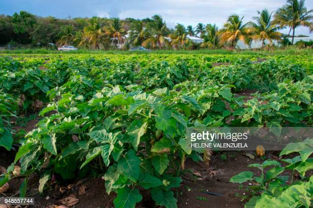 A plantation of sweet potato is pictured at the farm of the Kichenassamy family in Dubedou SaintFrancois on the French overseas territory of...