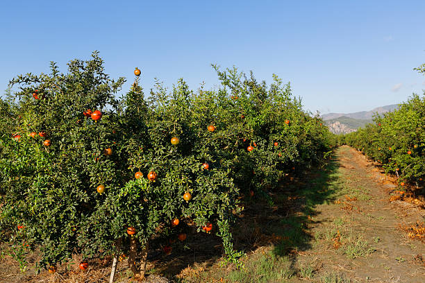 plantation, pomegranate trees -punica granatum-, dalyan, aegean region, turkey - pomegranate tree stock photos and pictures