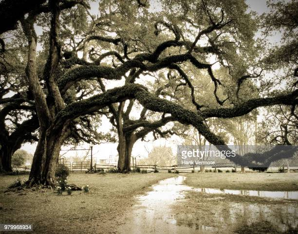plantation trees - hank vermote stock pictures, royalty-free photos & images