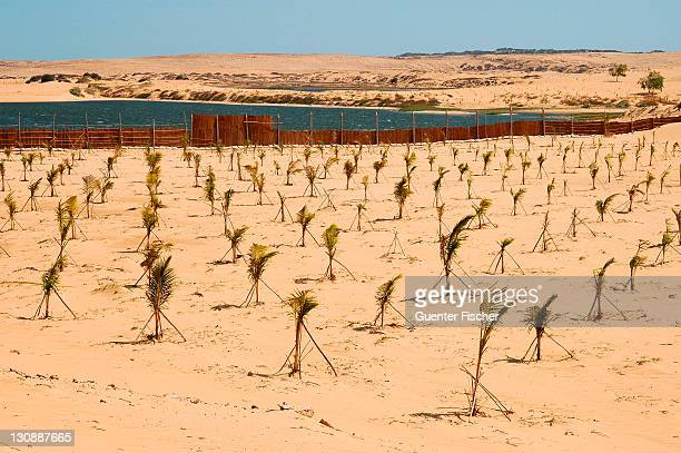 Plantation with young palms for a reforestation project for the containment of the growing desert areas, near Mui Ne, Vietnam, Asia