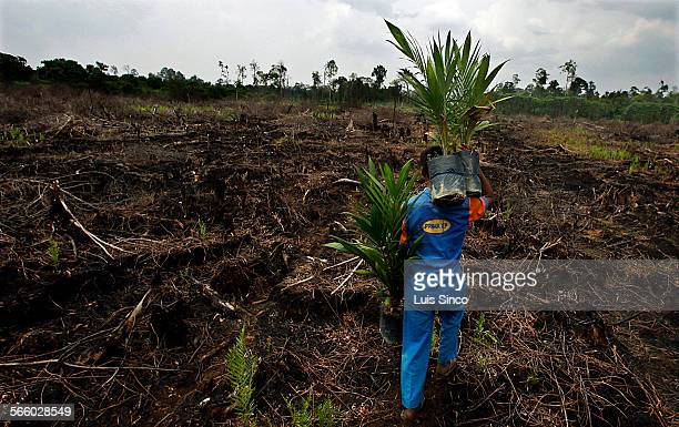 MERANTI INDONESIA – OCT 21 – 23 2009 A plantation worker carries palm seedlings to be planted on a cleared and burned swath of peatland rainforest in...