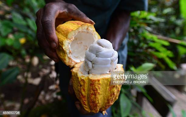 A plantation worker displays a cut and ripened cocoa pod which contains some thirty to forty cocoa beans fresh off a cocoa tree at the Fond Doux...